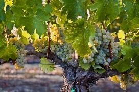 Vogelzang Vineyard White Grapes, Santa Barbara County